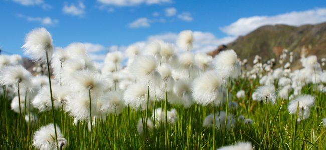 cotton-grass-680623